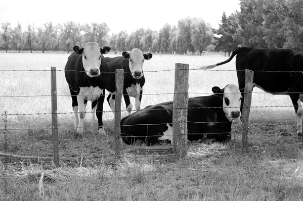 Sinemage calf black and white