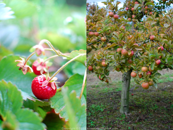 Sinemage Stawberry and apple tree