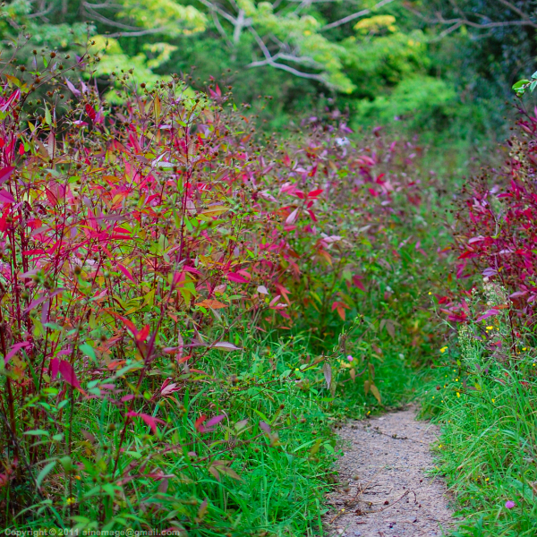 Sinemage Red leaves Bush and path